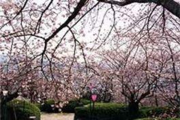 【桜・見頃】岡山市半田山植物園
