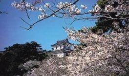 【桜・見頃】亀岡公園