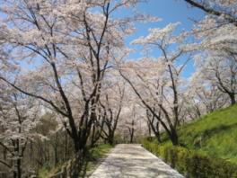 【桜・見頃】大法師公園