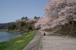 【桜・見頃】尾関山公園