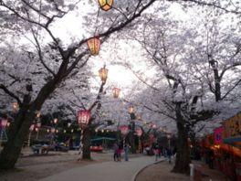 【桜・見頃】打吹公園