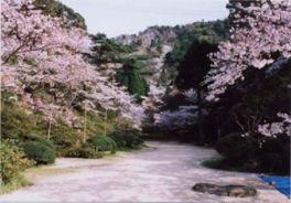 【桜・見頃】陶山神社