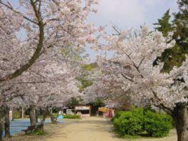【桜・見頃】道後公園
