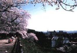 【桜・見頃】鳥取城跡・久松公園