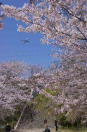 【桜・見頃】西公園