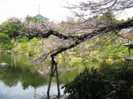 【桜・見頃】成田山公園