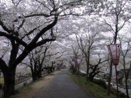 【桜・見頃】斐伊川堤防桜並木
