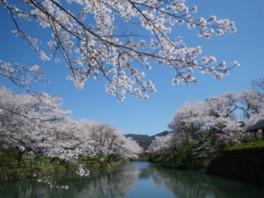 【桜・見頃】鹿野城跡公園