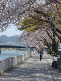 【桜・見頃】犬山市木曽川河畔一帯
