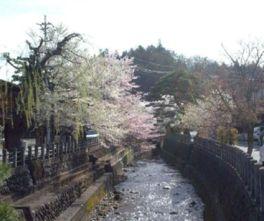 【桜・見頃】江名子川沿い