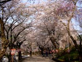 【桜・見頃】花巻温泉