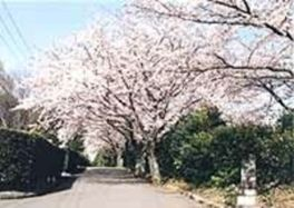【桜・見頃】上野ヶ丘墓地公園