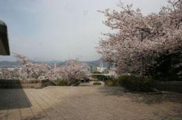 【桜・見頃】比治山公園