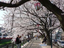 【桜・見頃】袋川桜土手