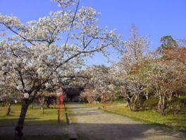 【桜・見頃】人吉城跡