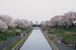 【桜・見頃】桜遊歩道公園