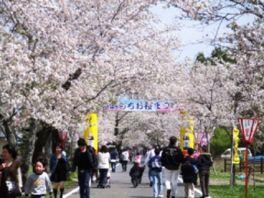 【桜・見頃】母智丘公園