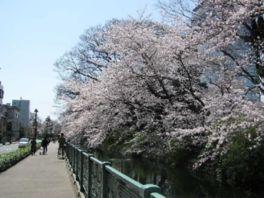 【桜・見頃】高崎城址公園