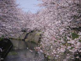 【桜・見頃】岸渡川堤