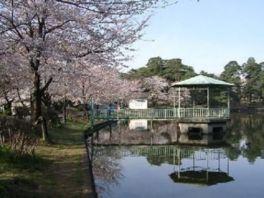 【桜・見頃】大宮公園