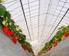 イチゴは5品種で日によって食べられる品種が異なる