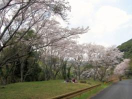 【桜・見頃】今富ダム公園