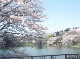【桜・見頃】県立三ツ池公園