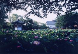 盛夏には池の水面を蓮の花々が多い尽くす
