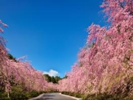 枝垂れ桜のプロムナードは4月中旬が見頃