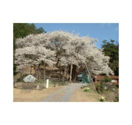 【桜・見頃】三隅大平桜
