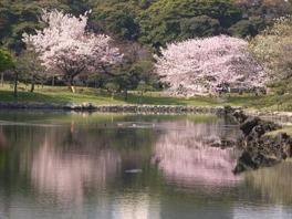 【桜・見頃】浜離宮恩賜庭園