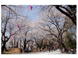 園内には、ソメイヨシノやサトザクラなど約650本の桜が植えられている