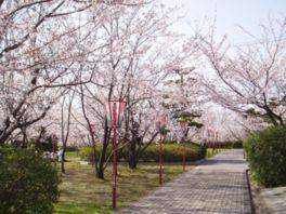 桜一面で彩られた道は圧巻