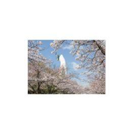 桜並木から見る太陽の塔