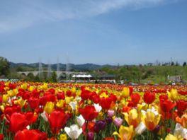 カラフルでキュートなチューリップが丘一面に咲き誇る