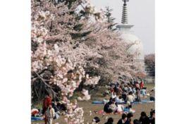 ソメイヨシノが咲き誇る市民の憩いの場