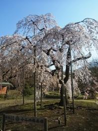 小石川後楽園入り口正面の「シダレザクラ」