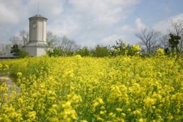 4月中旬から5月初旬に見頃を迎える菜の花
