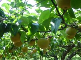 たわわに実った園内の梨