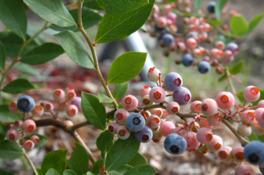 9月まで楽しめるパウダーブルーは酸味がなく、甘みと香りが強い品種