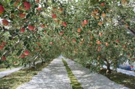 どこまでも続くリンゴ道