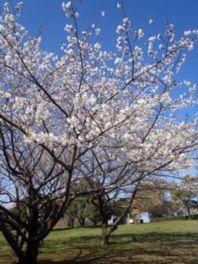 春には桜が花を咲かせ園内を美しく彩る