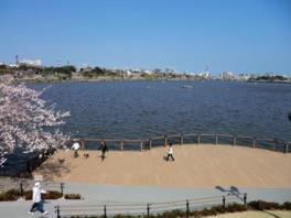 千波湖にはコブハクチョウをはじめ、様々な水鳥が羽を休めに来る