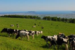 牛たちが草を食む草原の向こうに函館山と函館湾が広がる
