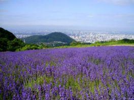 鮮やかなラベンダーの花の向こうに札幌市街が広がる