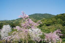 【桜・見頃】大神神社