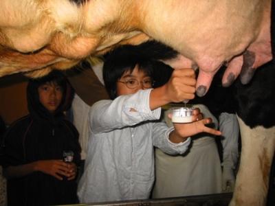 乳搾り体験 次へ 大きなウシの乳搾り ウシの乳搾り体験に挑戦!  池田牧場 遊牧民の乳搾り体験