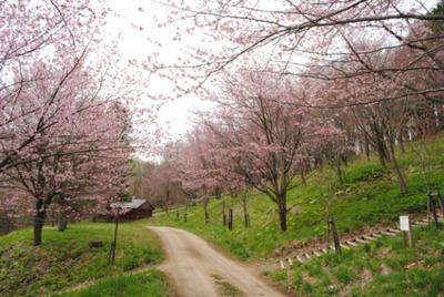 かみところ金刀比羅山桜まつり