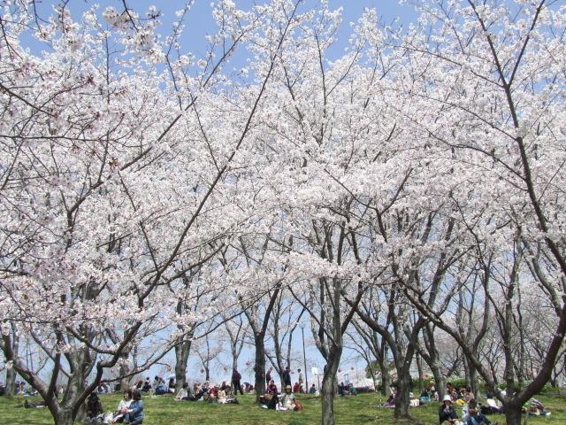 播磨中央公園 さくらまつり
