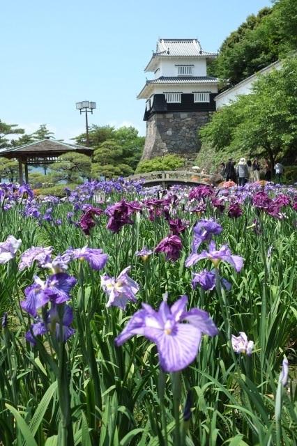 花菖蒲まつり(大村公園)